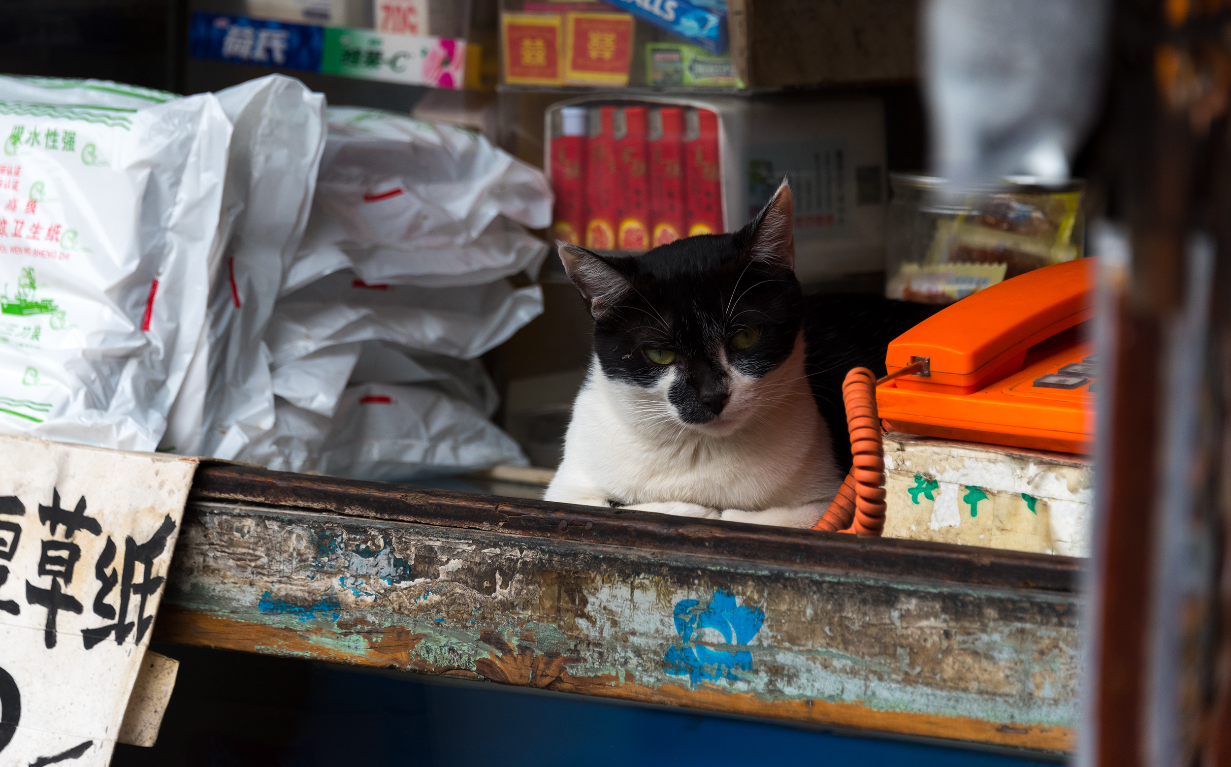 China, Shanghai: Cat
