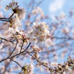 東京都豊島区雑司が谷:威光山 法明寺の桜