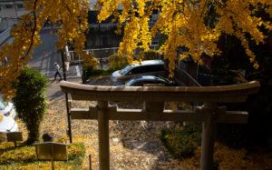 東京都文京区目白台:水神社の公孫樹