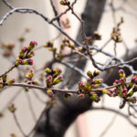 東京都豊島区雑司が谷:桜の蕾