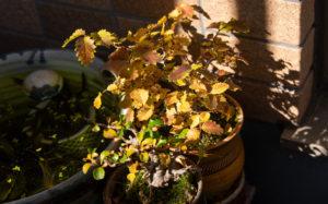 ニレケヤキと長寿梅の紅葉