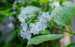 梅雨の風景:紫陽花