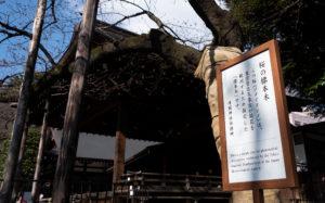 東京都千代田区九段北:靖国神社の標準木