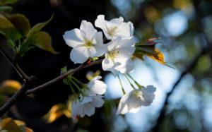 東京都千代田区九段北:靖国神社の桜
