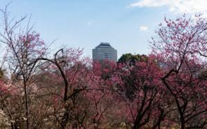東京都文京区小石川:小石川植物園 梅