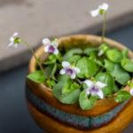 アオイスミレの花