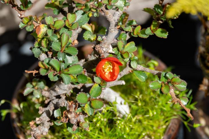 長寿梅の開花
