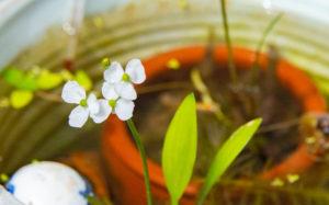 ヒメオモダカの花