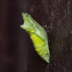 アゲハチョウ:蛹