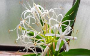 ハマユウ(浜木綿)の花
