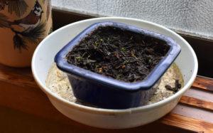 ハマヒサカキの芽