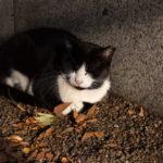 東京都豊島区雑司が谷 大鳥神社:猫