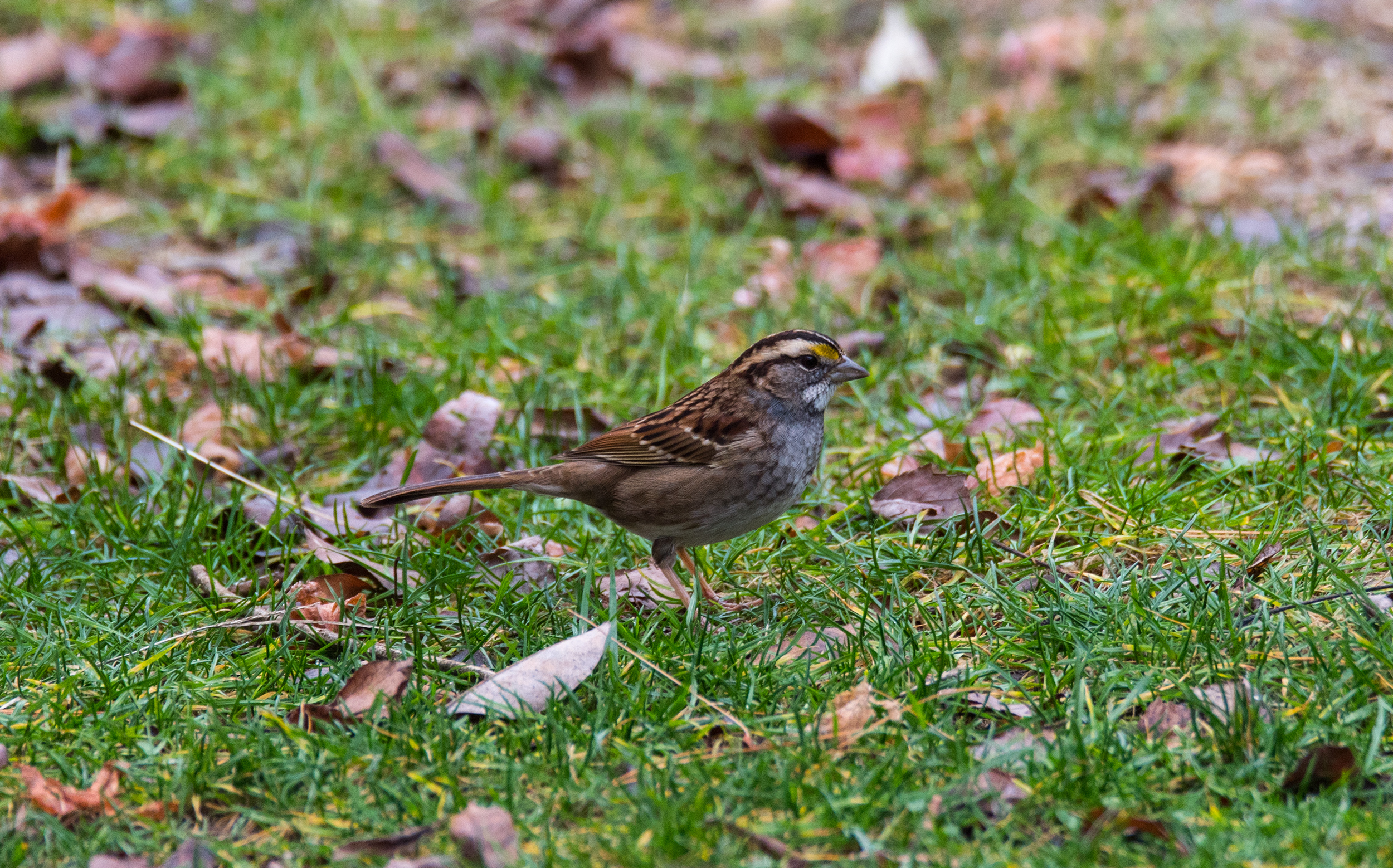 White-throated Sparrow, ノドジロシトド, Piermont, NY, United States