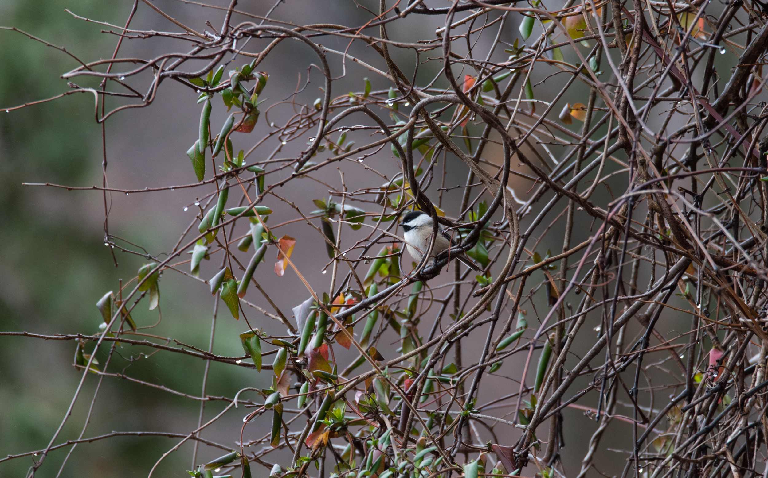 Black-capped Chickadee, アメリカコガラ, Piermont, NY, United States
