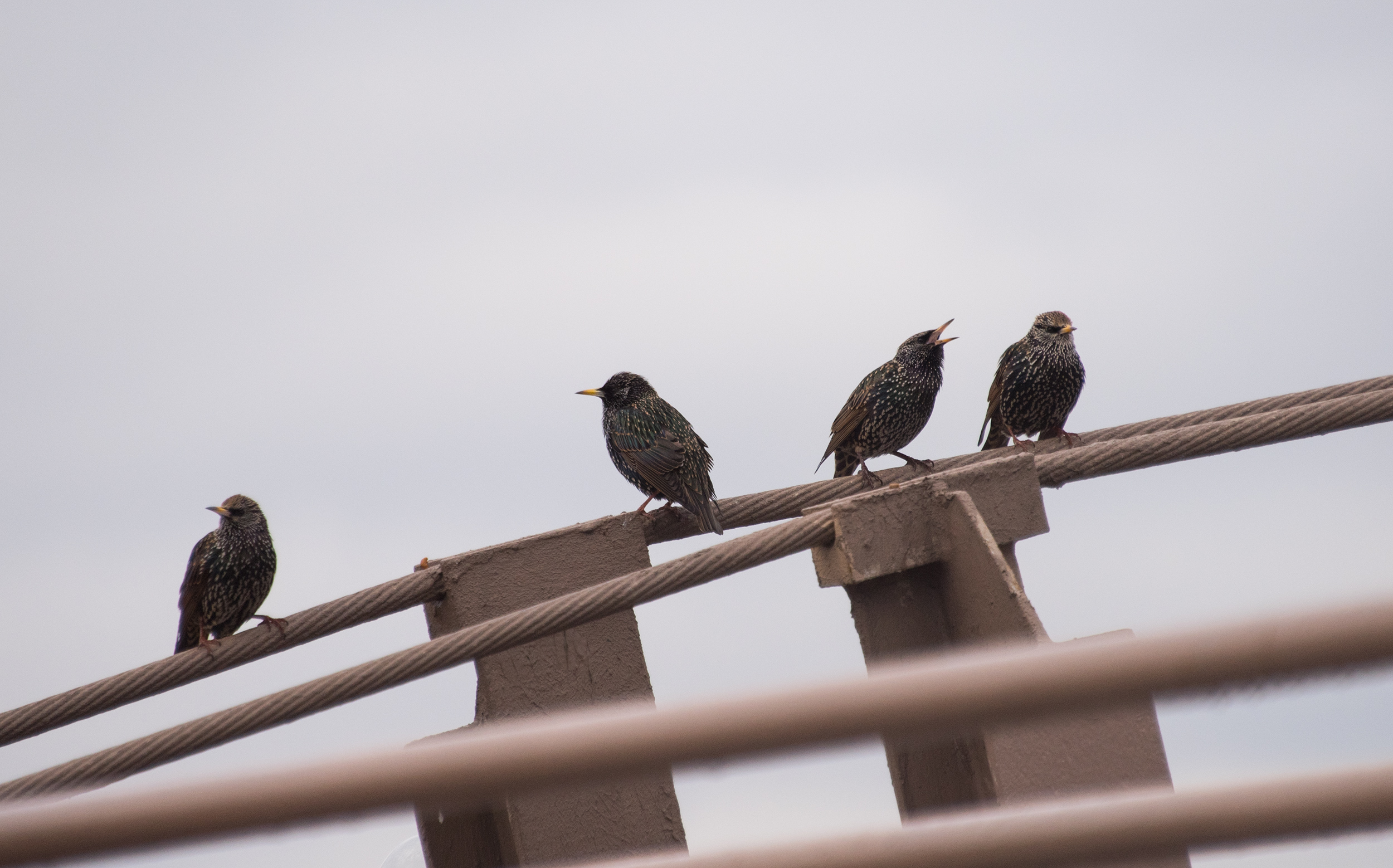 European Starling, ホシムクドリ, Brooklyn, NY, United States
