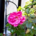 東京都豊島区池袋:バラ