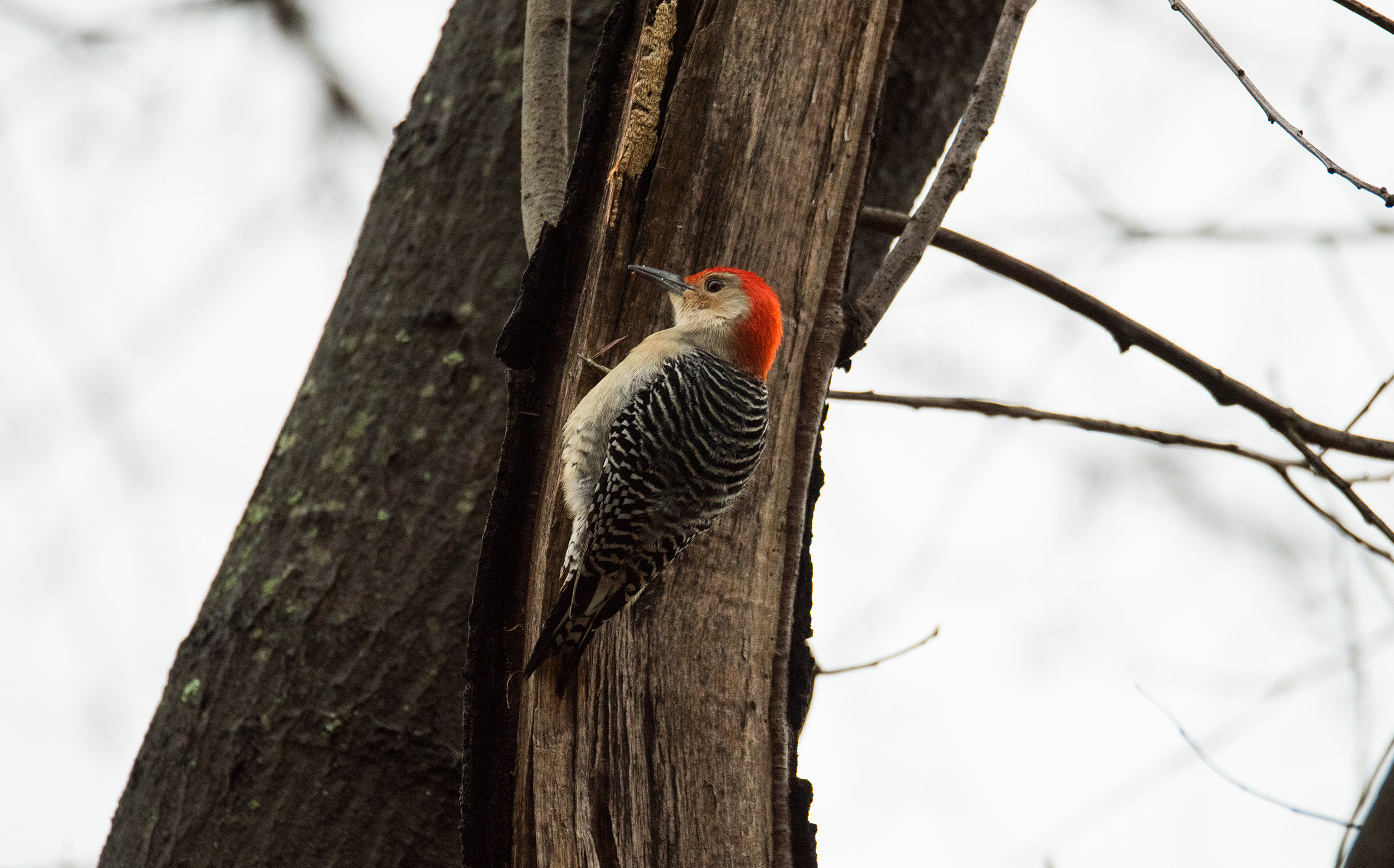 Red-bellied Woodpecker, Piermont, NY, United States