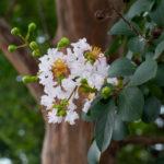 東京都豊島区雑司が谷:大鳥神社のサルスベリ