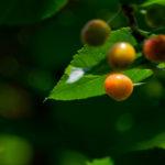 東京都豊島区池袋:桜の実